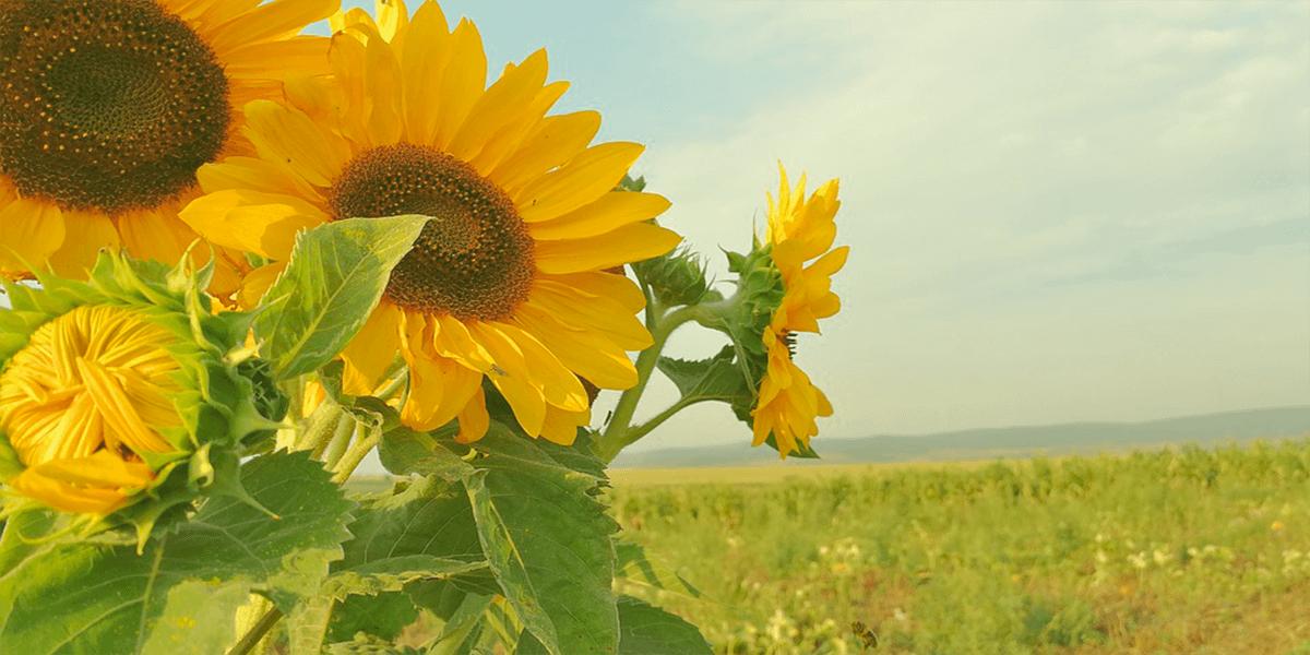 Изображение_Пелети з лушпиння соняшника_964