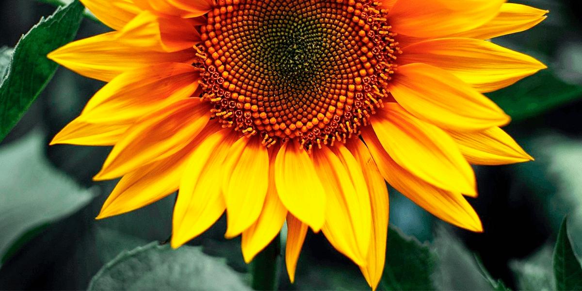 Изображение_Перевага лушпиння з соняшнику над іншою сировиною для біопалива_2608